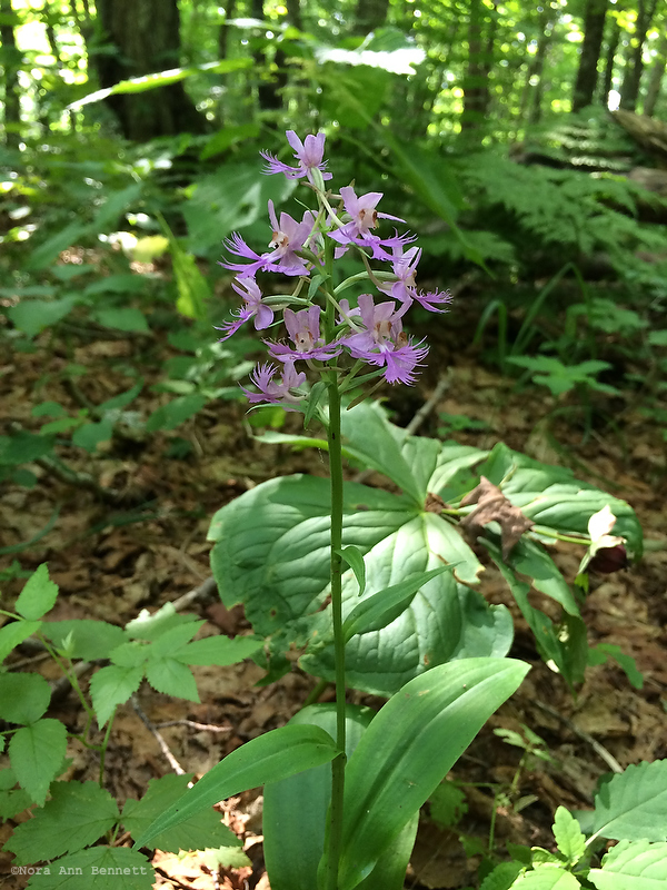 A large fringed orchis alongside the trail.